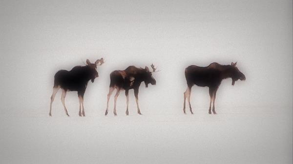 3 moose