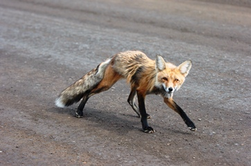 fox on highway