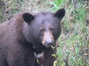 bear - Copy