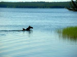 moose pair 1